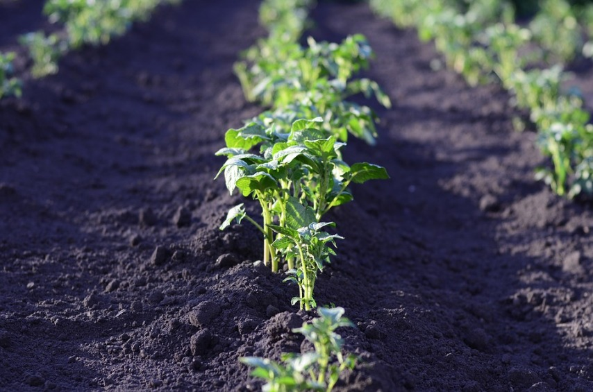 Ранний картофель