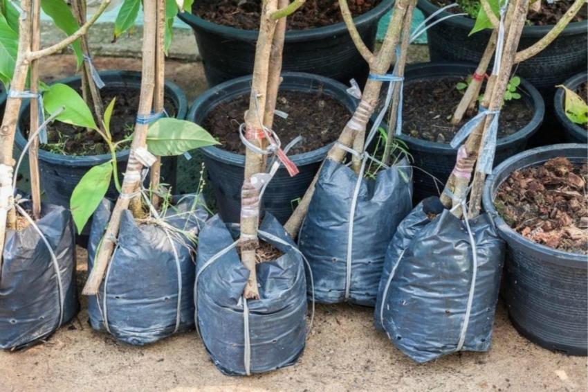 Как перевезти саженцы деревьев и кустарников на участок и не повредить их