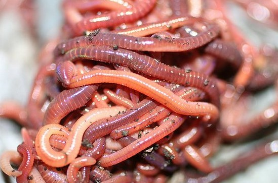 калифорнийские черви