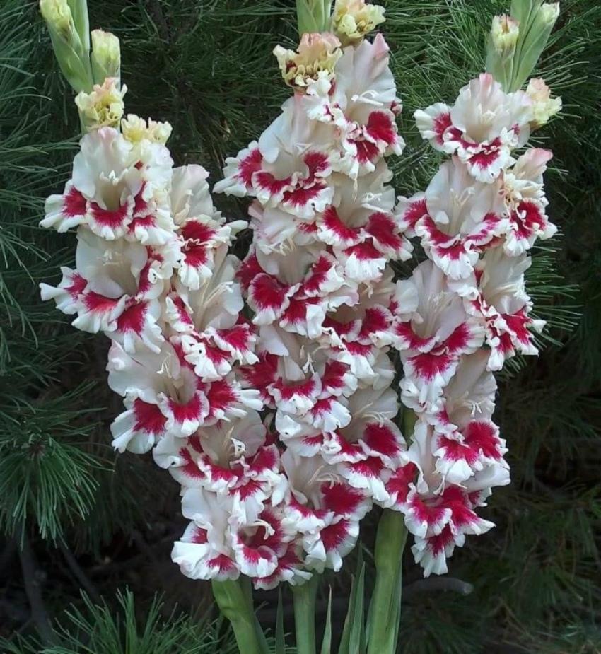 цветок гладиатора