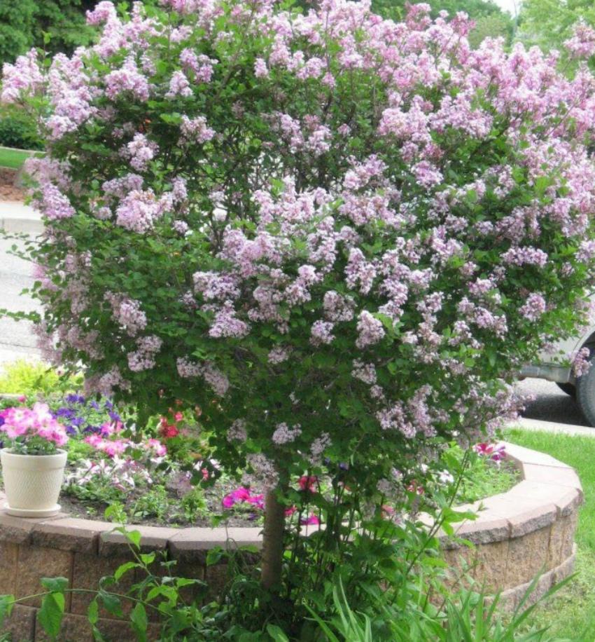 Сирень – лучшее украшение сада в мае