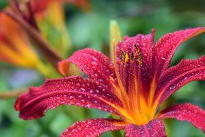 Красавица лилия