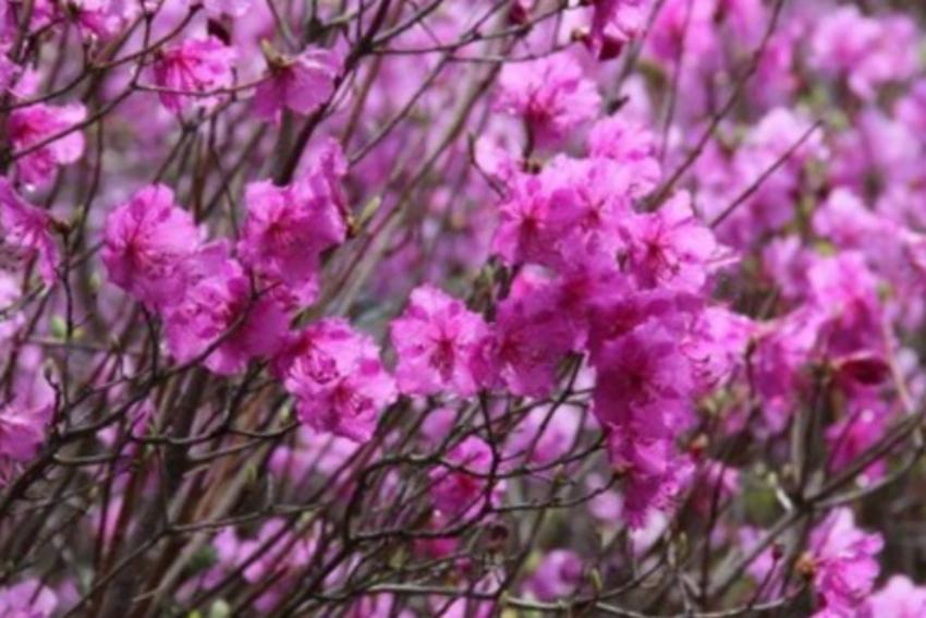 кустарники рододендроны