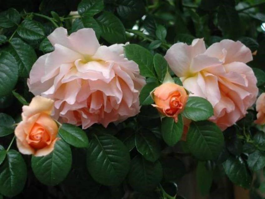 роза Песент