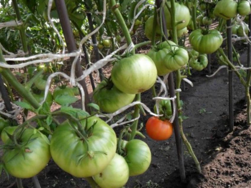 теплица помидор