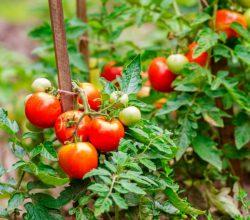 томаты уход