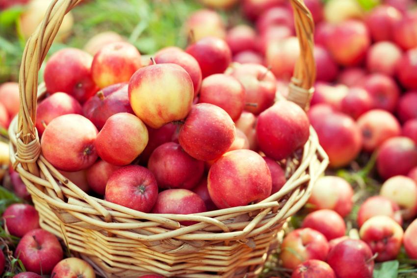 яблоня урожай
