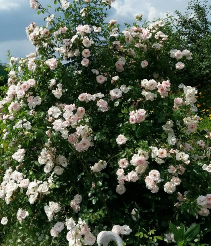 морозостойкие розы