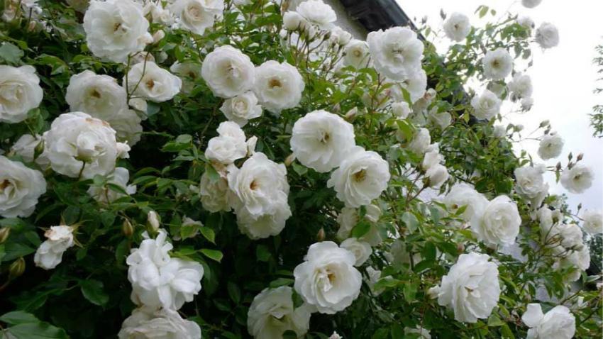 розы снегурочка