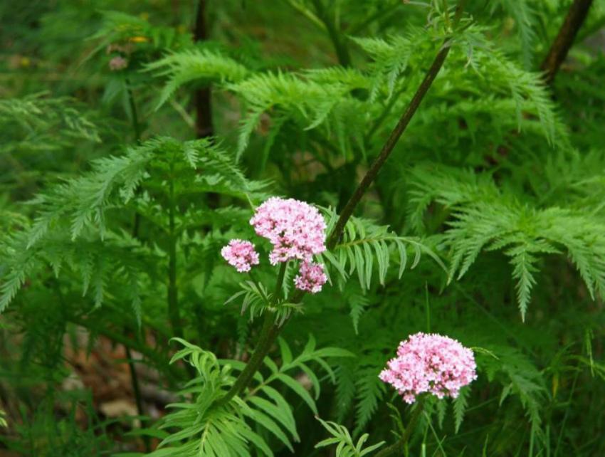 растение валериана