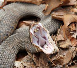 Змея и её зубы