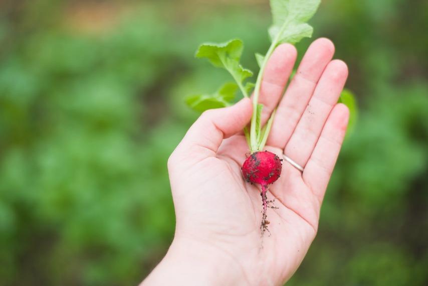 Выращивание редиса для получения семян