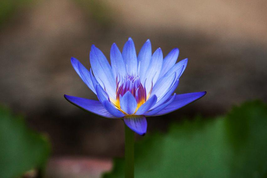 Запрещенные растения: голубой лотос