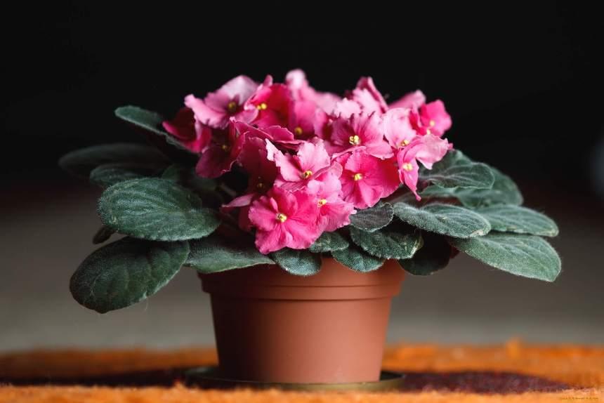 Цветки фиалки