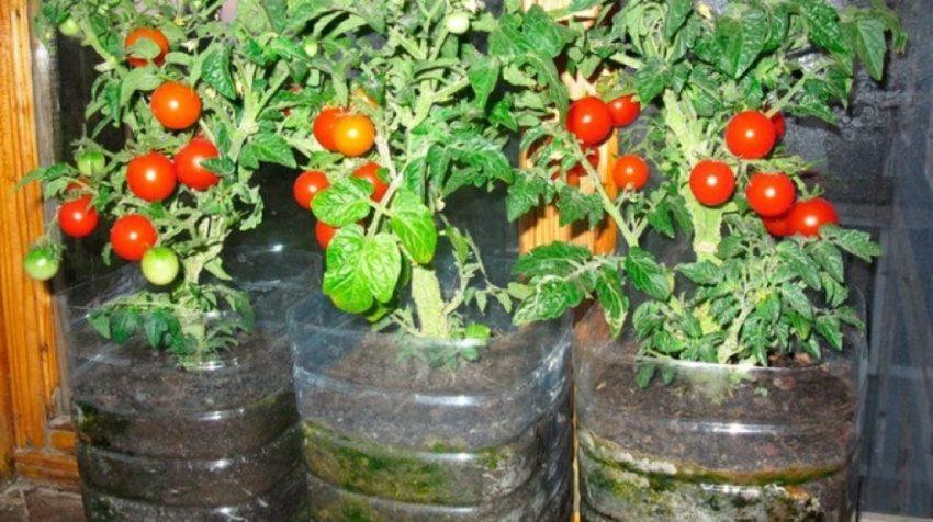 Потребности помидоров