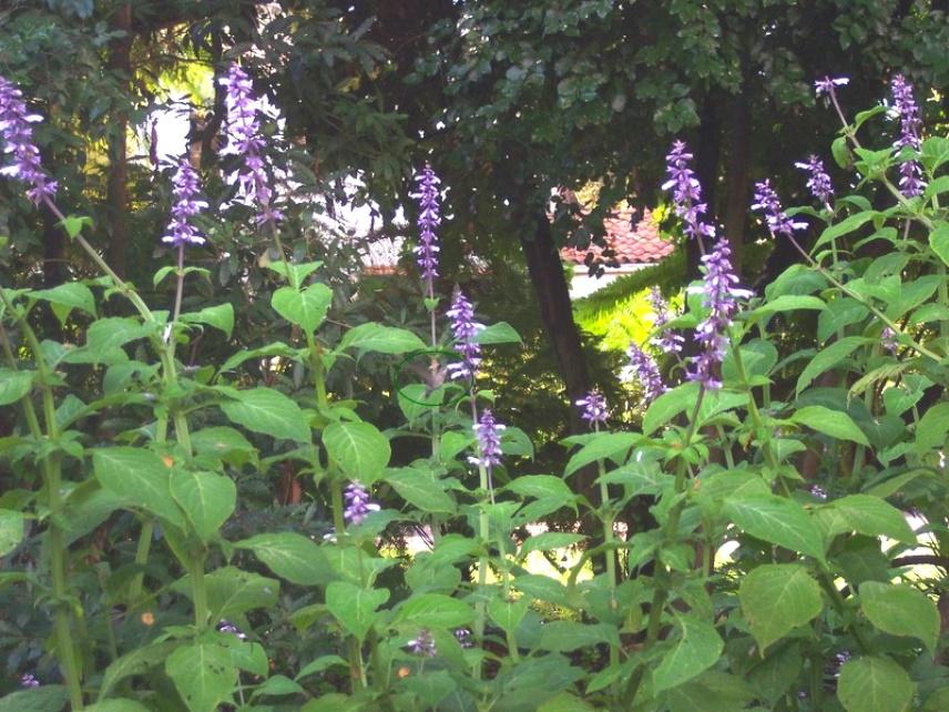 Запрещенные растения: шалфей предсказателей