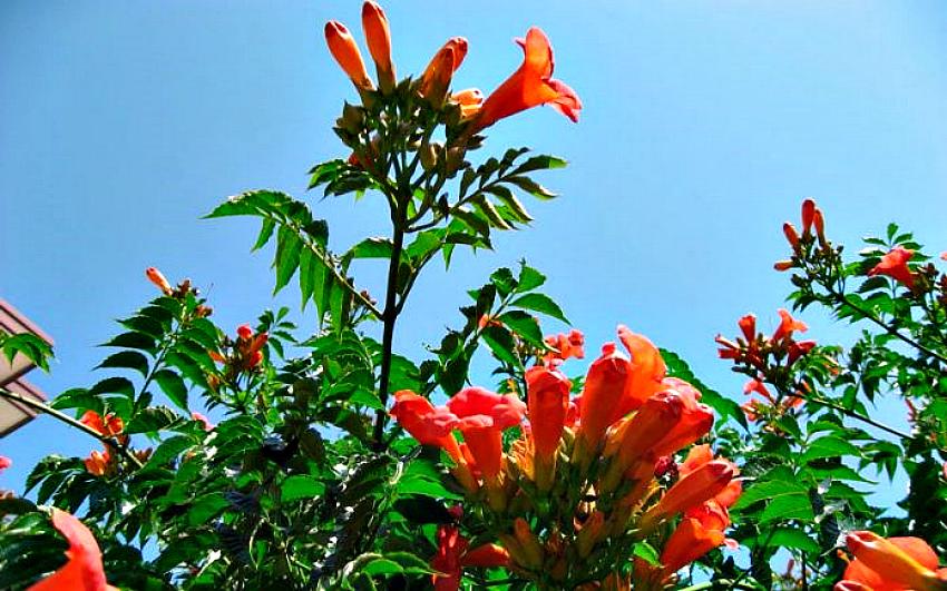 кампсис цветы