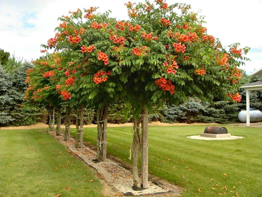 Кампсис: экзотическая роскошь в саду