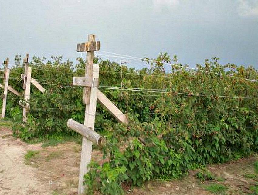 Малина на шпалере: залог богатого урожая и легкого ухода