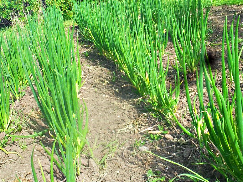 многоярусный лук зелень