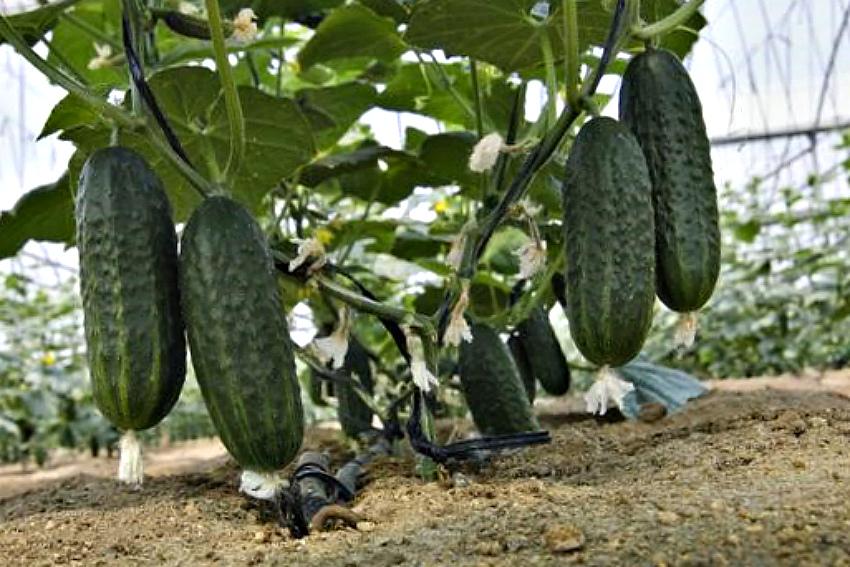 Огурцы: летнее меню для хорошего урожая