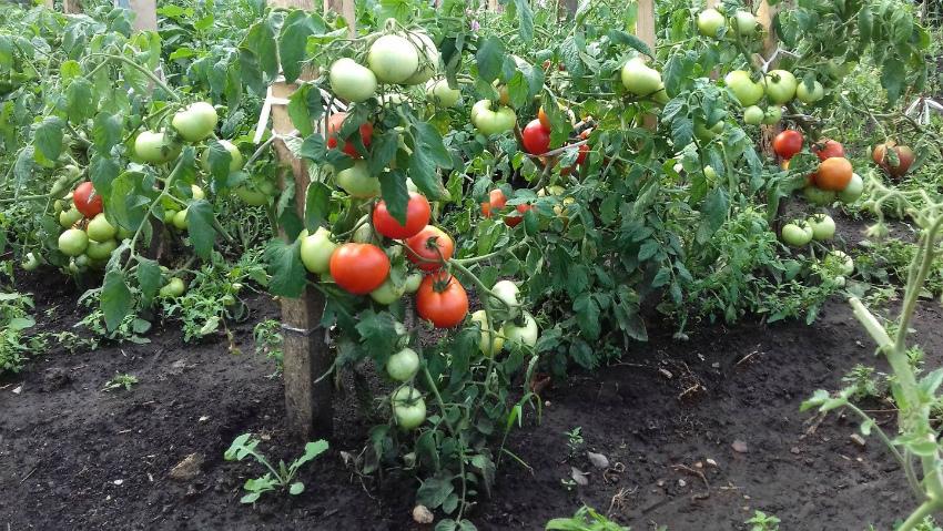 подкормки томатов урожай