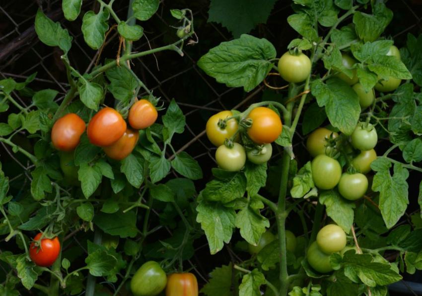 Летнее меню для помидоров: правильные подкормки томатов