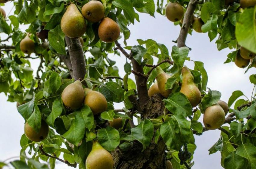 груша фрукт