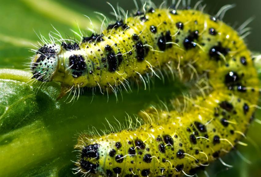 личинка капустницы