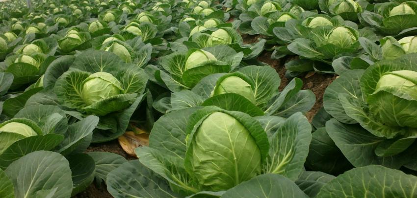 урожайность капусты