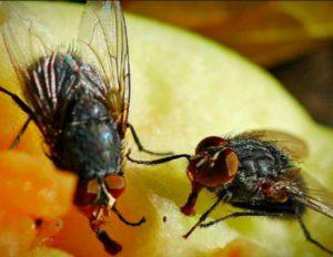 Мухи - назойливые насекомые