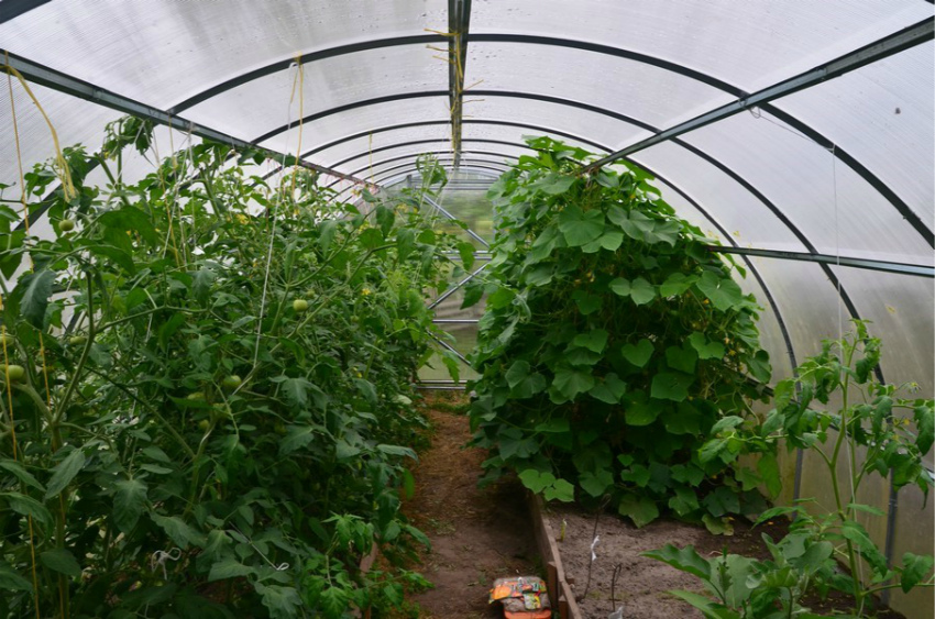 Огурцы и томаты в одной теплице