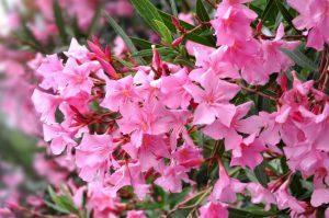 олеандр экзотическое растение