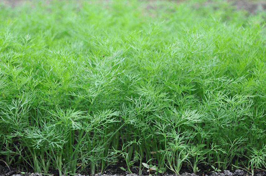 Полезные травы укроп