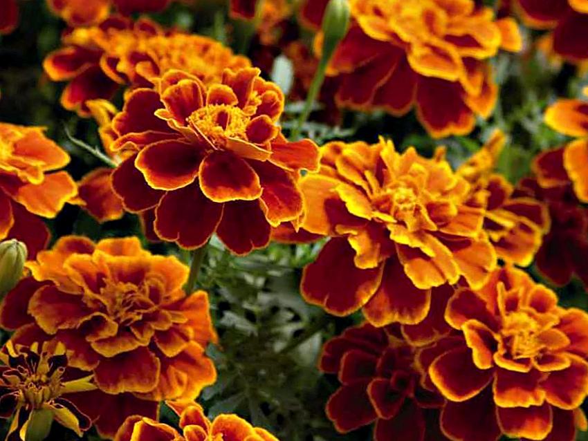 цветы тагетес
