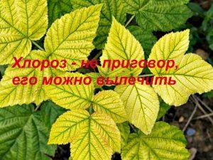 Железный хлороз растений
