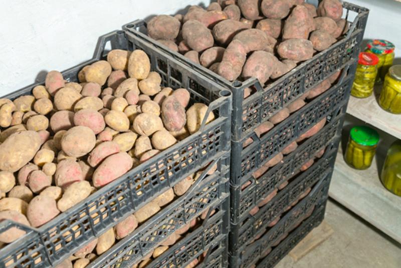 Хранение картофеля по сортам