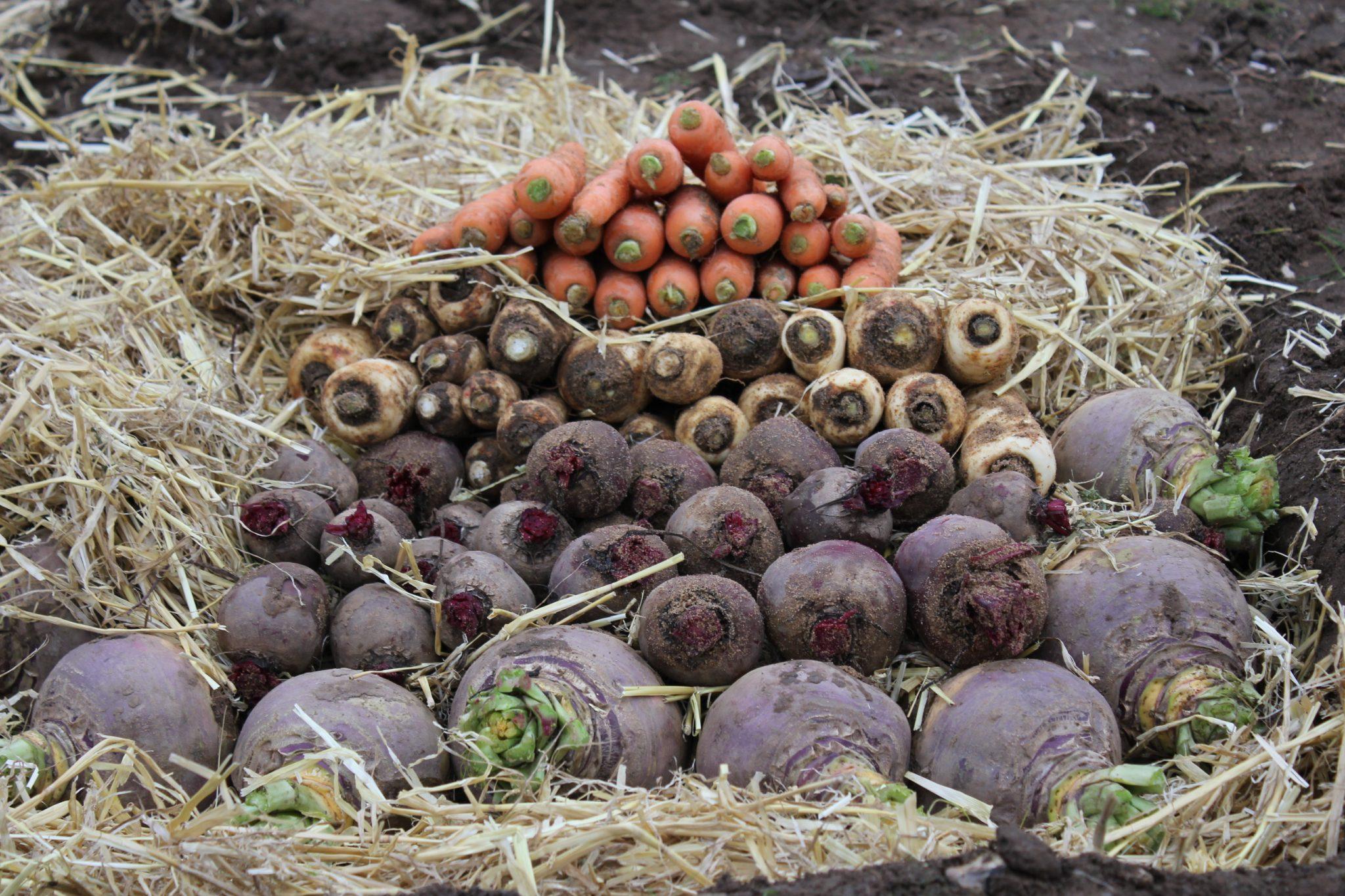 Корнеплоды в траншейном овощехранилище