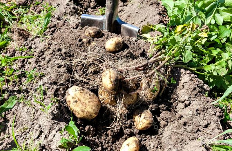 Можно копать картошку