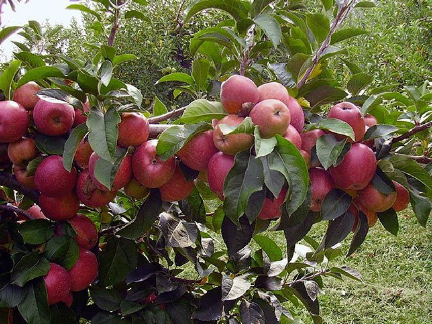 Плодоносяшие деревья