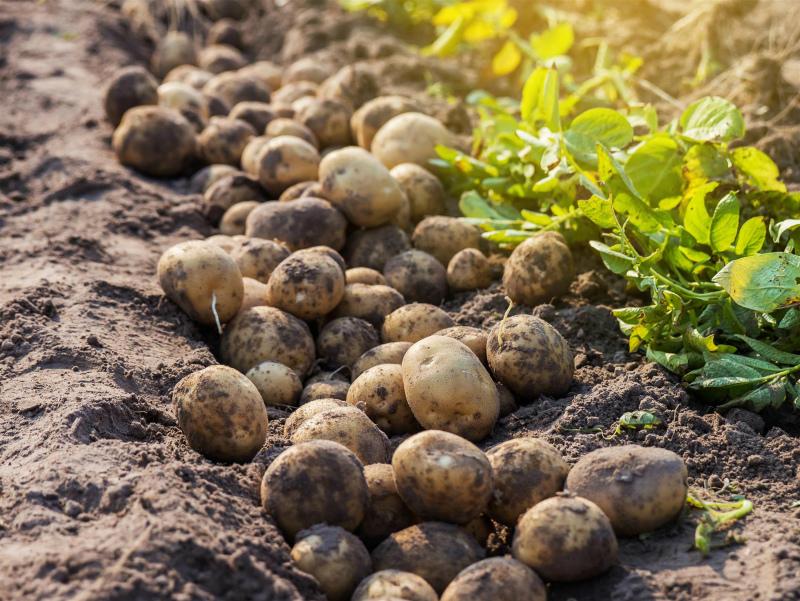 Пора копать картошку