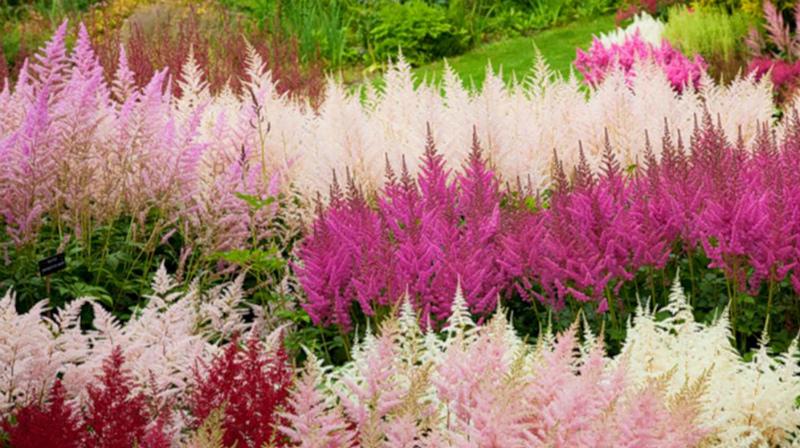 Астильба - тенелюбивые растения
