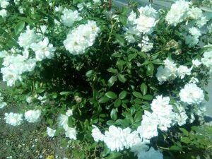 Белые розы осенью