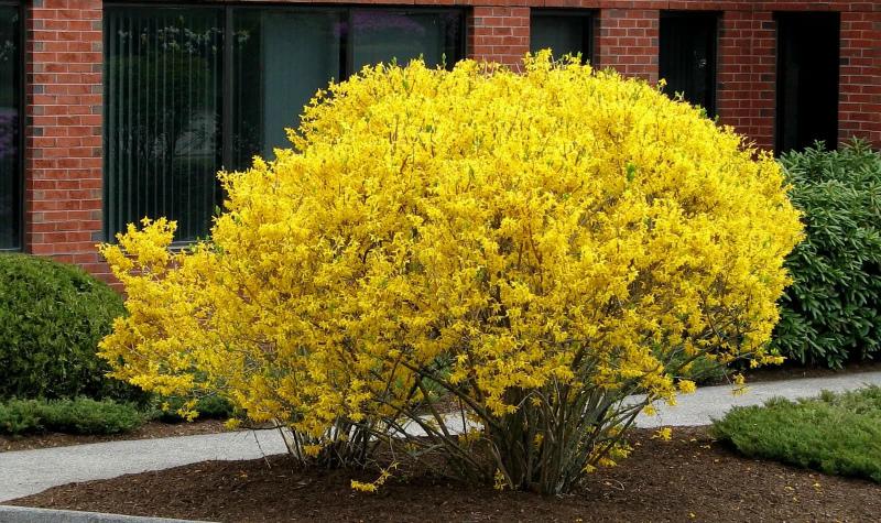 Планируете посадить декоративные кустарники? Подскажем, какие цветут весной и летом