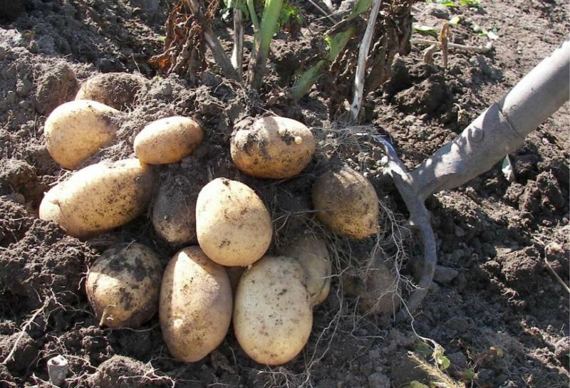 Как ухаживать за почвой после картофеля