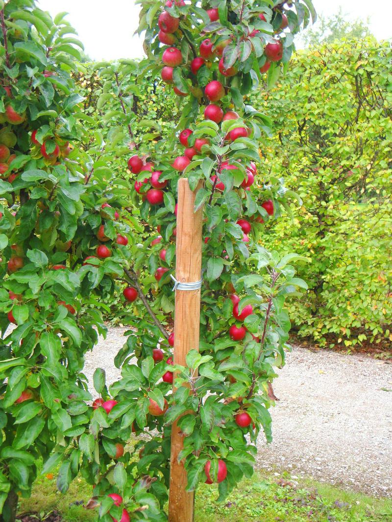 колоновидные яблони нуждаются в опоре