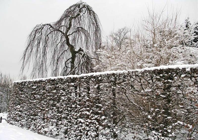 Листопадная изгородь зимой