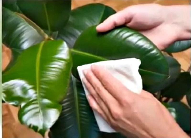 полироль для растений