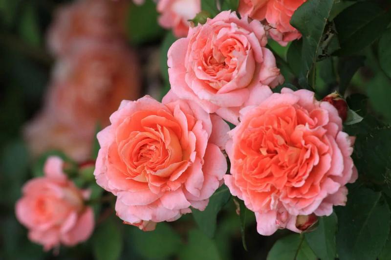 Делюсь опытом, как я высаживаю розы осенью