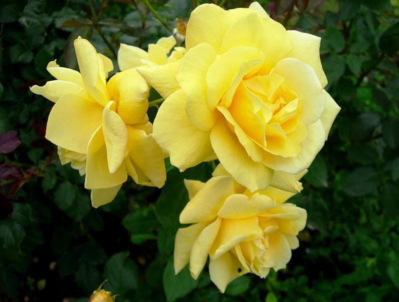 Розы Карамель